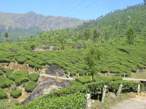 Photo of Munnar Plantation