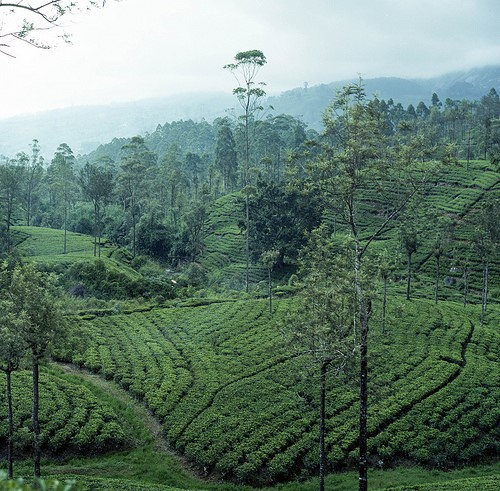 Tea 'Camellia Sinensis' Plantation in Sri Lanka