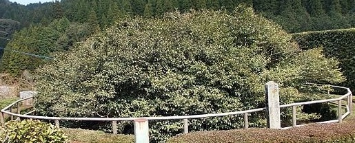 Camellia Sinensis Tea Tree by Mt Fudo