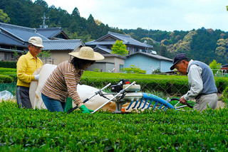 Tea Harvesting by Machine in Japan