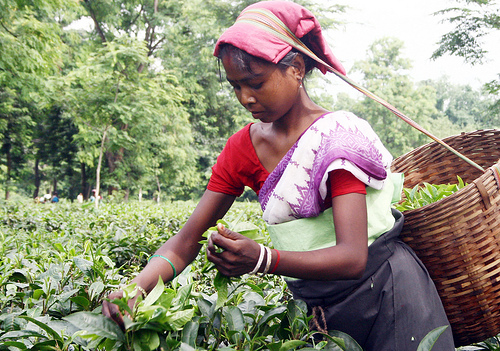 Woman Plucking Tea in Assam India