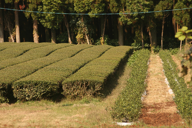 Rows of Trimmed Tea Plants - Tea Cultivars