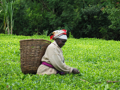 Kenyan Tea Field