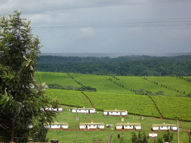 Photo of Kenyan Tea Plantation