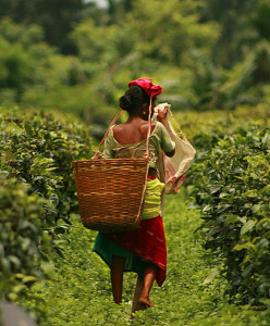 Assam tea plantation worker carrying a basket supported from her head.