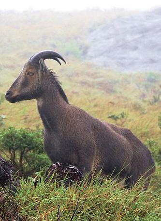 Nilgiri Tahr, Nilgiri Hills India