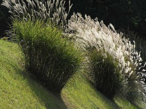 Chagusaba farming practices make use of cut and dried pampas grass.