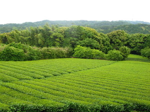 Tea Garden in Chagusaba Region of Shizuoka Japan