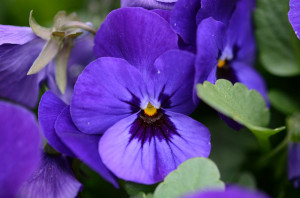 Violets have a floral aroma.