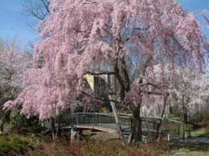 Beautiful pink blossoms of a tree at Lake Reston.