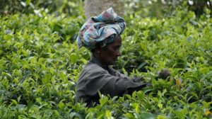 Ceylon tea plucked on the island nation of Sri Lanka