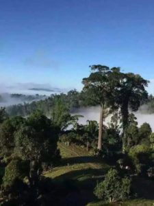 Cloud and mist shrouded tea trees of Yunnan Province