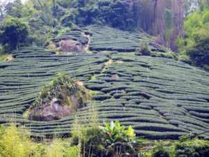 Tea fields growing up a mountainside.